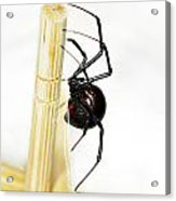 Sideview Of Black Widow Spider Acrylic Print