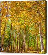 Sierra Aspen Acrylic Print