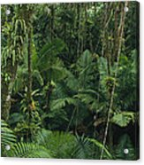 Sierra Palm Trees El Yunque Puerto Rico Acrylic Print