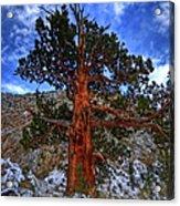 Sierra Pine Acrylic Print