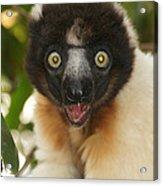 sifaka from Madagascar 8 Acrylic Print