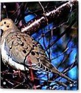Silent Dove Sm  Acrylic Print