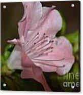 Silent Pink Photo B Acrylic Print
