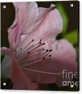 Silent Pink Photo D Acrylic Print