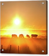 Silhouette Of Cattle Walking Across The Acrylic Print