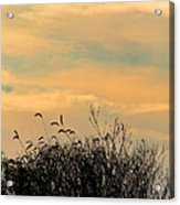 Silhouette Of Grass And Weeds Against The Color Of The Setting Sun Acrylic Print