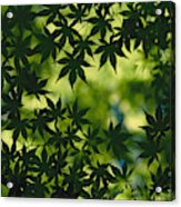 Silhouette Of Japanese Maple Leaves Acrylic Print