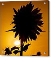 Silhouette Of The Sunflower Acrylic Print