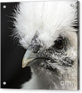 Silkie Chicken Portrait Acrylic Print