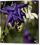 Silky Blue Columbine And A Busy Bee Acrylic Print