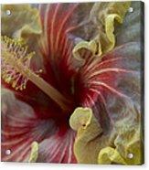 Silky Frillls Acrylic Print