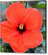 Silky Red Hibiscus Flower Acrylic Print