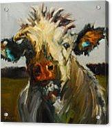 Silly Cow Acrylic Print
