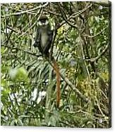 Silly Red-tailed Monkey Acrylic Print