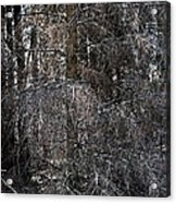 Silver Cedar Acrylic Print