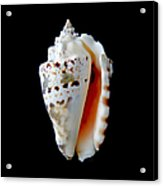 Silver Conch Seashell Acrylic Print