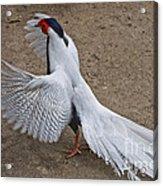 Silver Pheasant Acrylic Print