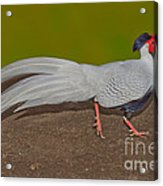 Silver Pheasant In Strutting Pose Acrylic Print