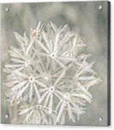 Silver Puff Acrylic Print