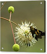 Silver-spotted Skipper On Buttonbush Flower Acrylic Print