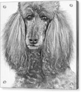 Silver Standard Poodle Drawing Acrylic Print