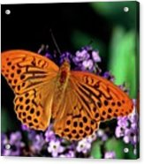 Silver Washed Fritillary Butterfly Acrylic Print