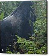 Silverback Side Profile Acrylic Print