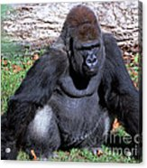 Silverback Western Lowland Gorilla Acrylic Print