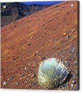 Silversword Haleakala Crater Maui Hawaii Acrylic Print