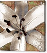 Silvery Asiatic Lily Acrylic Print