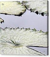 Silvery Sage Green Lily Pads Acrylic Print