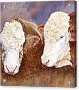 Simmental Bulls Acrylic Print