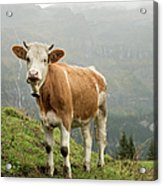 Simmental Cow On Alp In Bernese Acrylic Print