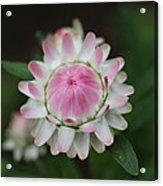 Simple White Straw Flower Acrylic Print