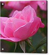 Simplicity Floribunda Rose Acrylic Print