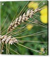 Simply Dried Grass Acrylic Print