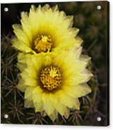 Simply Golden Cactus Flowers  Acrylic Print