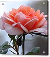 Simply Rose  Acrylic Print