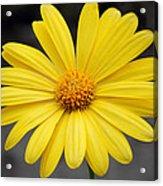 Simply Yellow Acrylic Print
