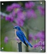 Singing Blue Bird Acrylic Print