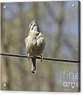 Singing His Heart Out - Carolina Wren - Thryothorus Ludovicianus Acrylic Print