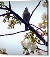 Singing Of Spring Acrylic Print