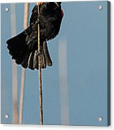 Blackbird Melody Acrylic Print