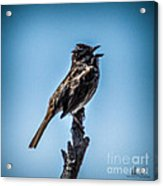Singing Song Sparrow Acrylic Print