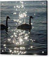 Singing Trumpeter Swans Duet  Acrylic Print