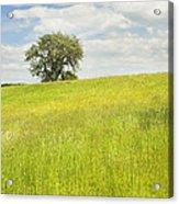 Single Apple Tree In Maine Hay Field Acrylic Print