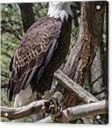 Single Bald Eagle Acrylic Print