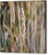 Single Blade Of Tall Field Grass Acrylic Print