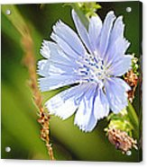 Single Blue Flower Acrylic Print by Stephanie Grooms