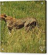 Single Cheetah Running Through The Grass Acrylic Print